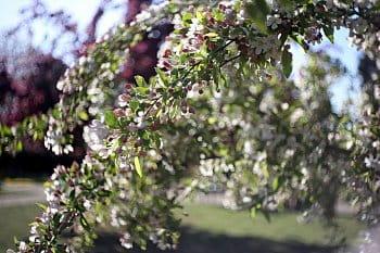 Když rozkvetou jabloně