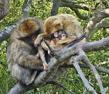 Opičí láska