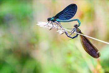 Rozmnožování hmyzí říše