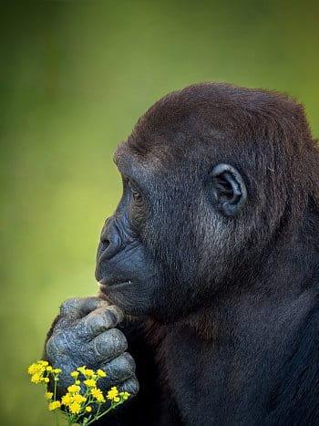 Zamilovaná Gorila Nížinná