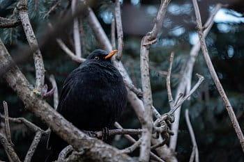 Kos Černý pozorujíc okolní šrumec