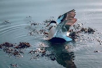 Kajka Mořská v protažení