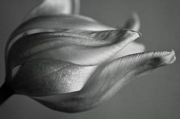 Bílý tulipán BW