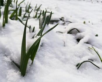 Zasypané sněženky