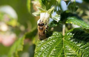 Sedící včela