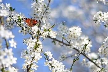 Jarní babočka