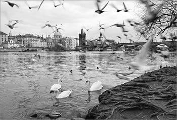 Ptáci nad Vltavou