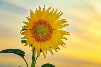 Slunečnice při západu slunce
