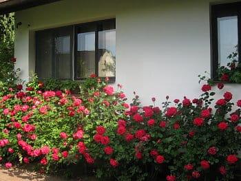 Růže pod okny