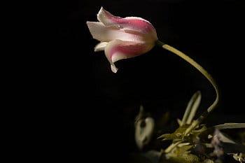 Hrdost tulipánu