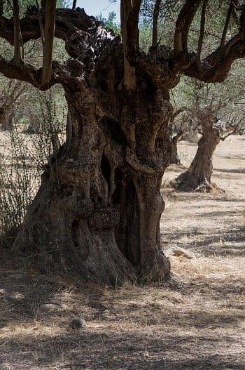 Olivovník 2
