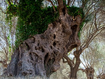 Olivovník 1