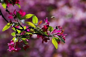 půvab květů láká včelu