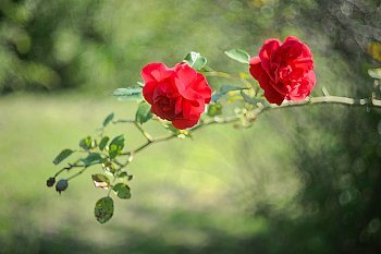 V růžové zahradě
