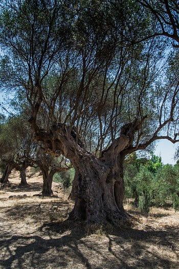Olivovník 3