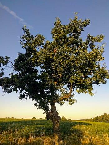 Dub v krajině