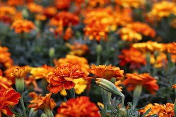 Oranžový záhon