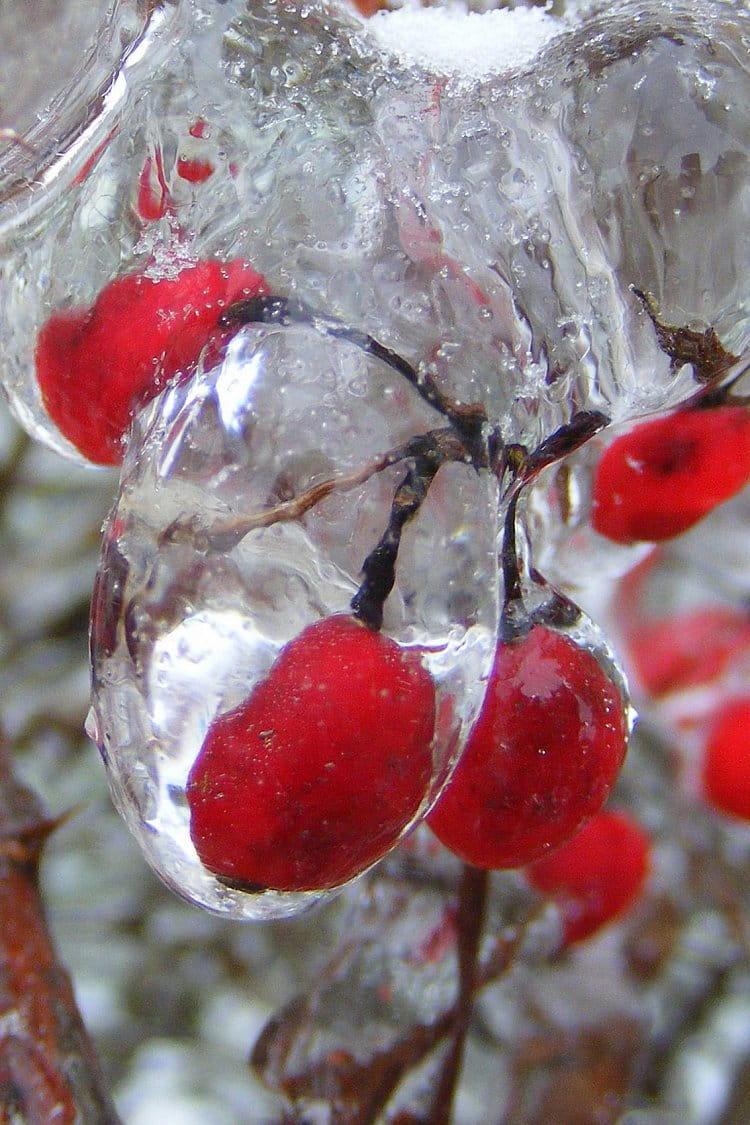 krása keře v ledu