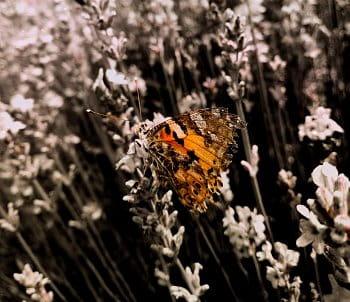 Motýlí krása v levanduli