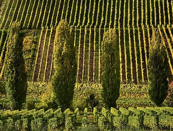 Topoly ve vinicich