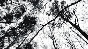 Copas de los árboles en blanco y negro