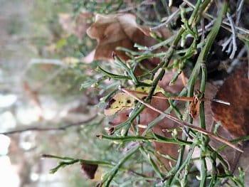 Jehličí v borůvčí