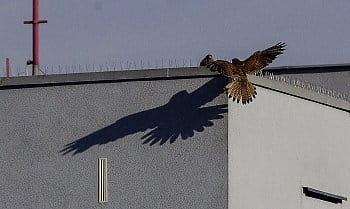 poštolka dolétá na střechu