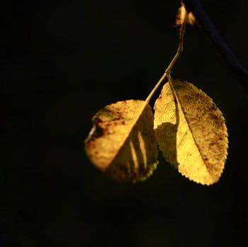 Zlate listy