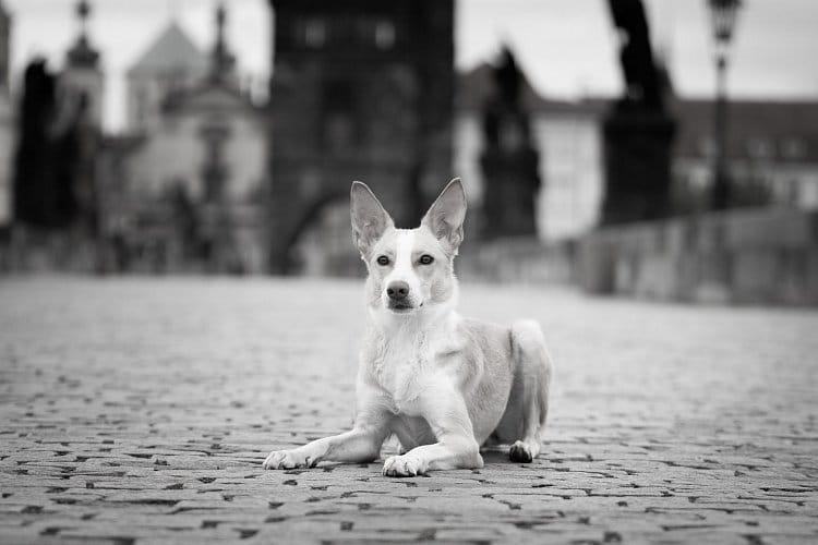 Pes v Praze