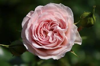 letní ruže