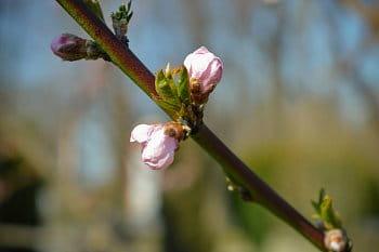 Kvítek nektarinky