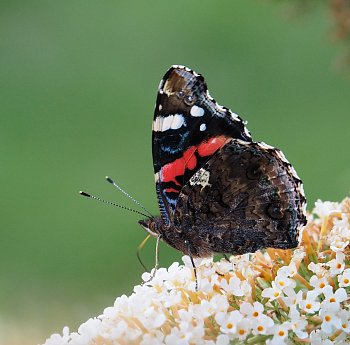 Motýlek...
