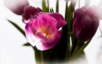 Nitro tulipánu