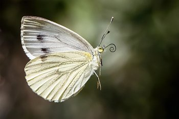 Tančící motýl bez cylindru, bos.