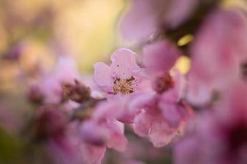 Květ nektarinky
