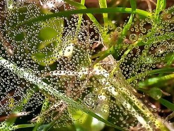 Letní rosa na pavučině