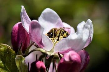 Včela a jabloňový květ