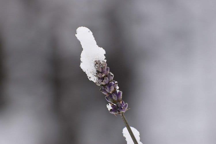 Levandule v zimě