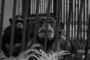 ChimpanzeeLivesMatter